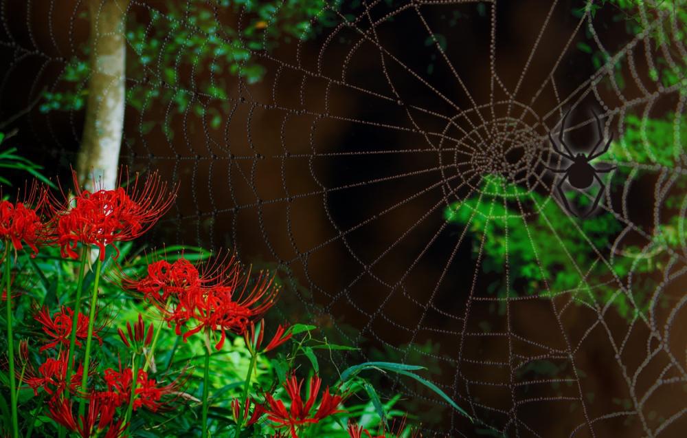 彼岸花は英語でred spider lilyと読みます